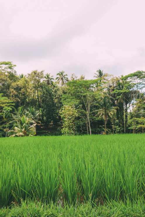 Bali Travel - Tegalalang Rice Terrace In Ubud And Gunung Kawi Temple (14)