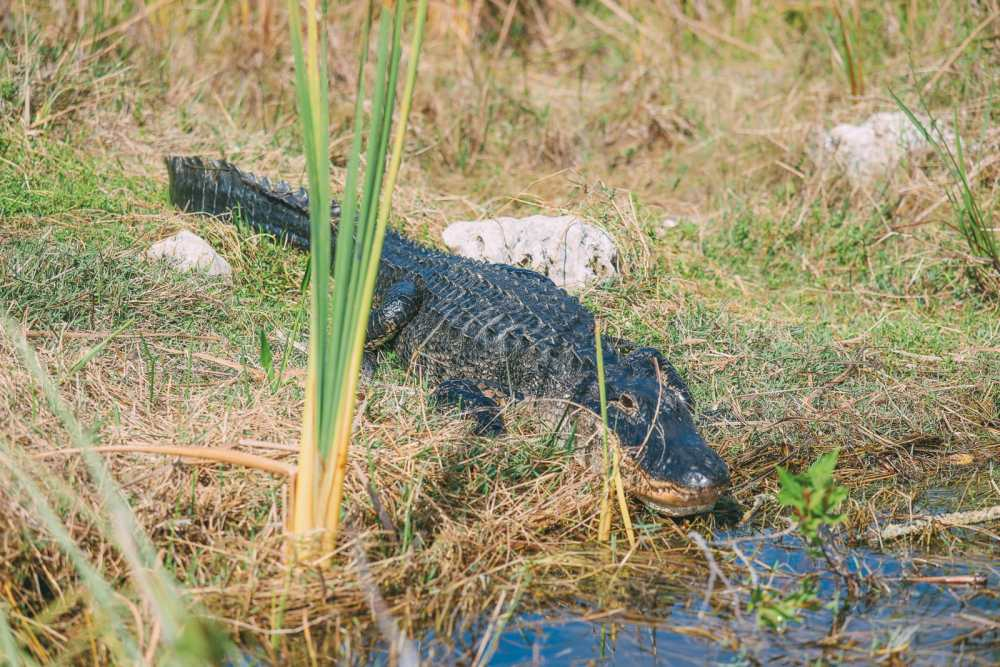 Searching For Wild Alligators in Florida (18)