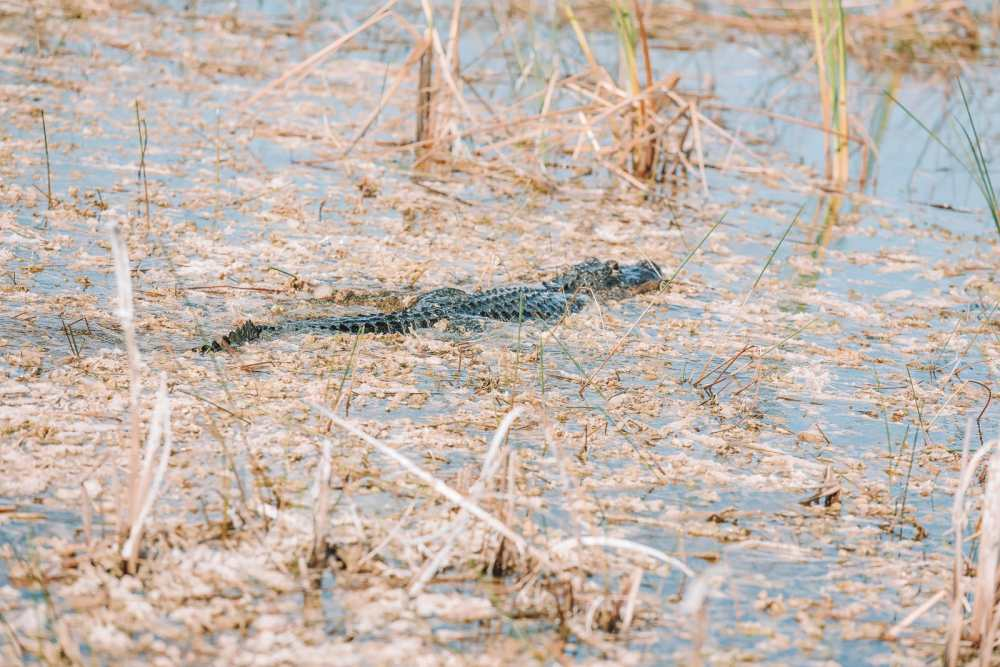 Searching For Wild Alligators in Florida (21)