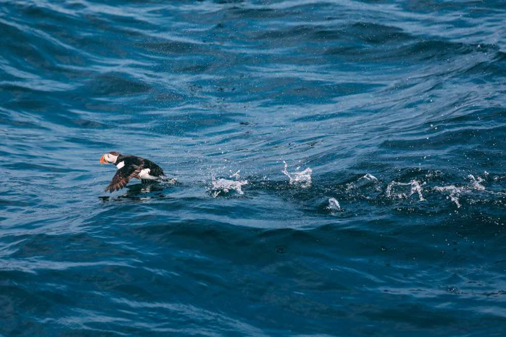 Searching For Puffins In Newfoundland, Canada (22)