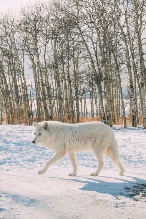 Grotto Canyon, Wolfdogs And The Canadian Rockies (31)