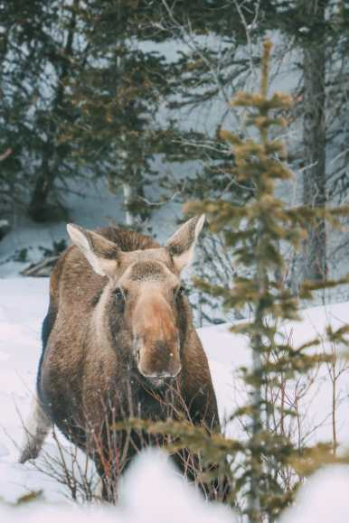 Finding Wild Moose And Skiing In Sunshine Village... In Banff, Canada (5)