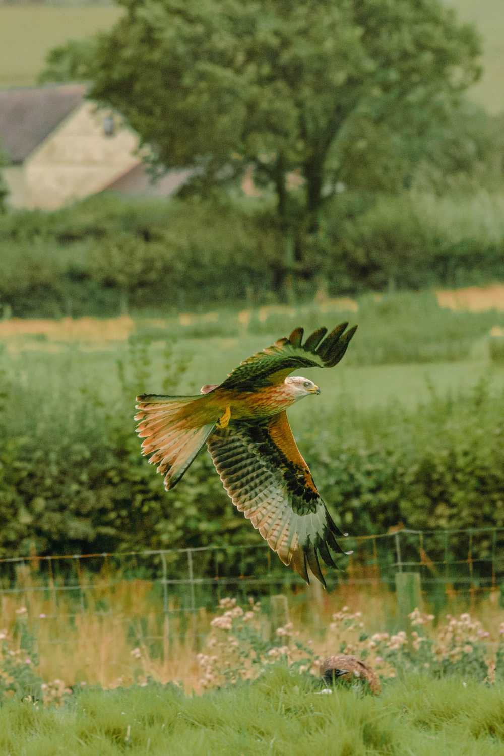 Red Kites In The Brecon Beacons