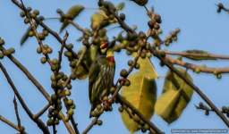 Coppersmith Barbet spotted near timber depot
