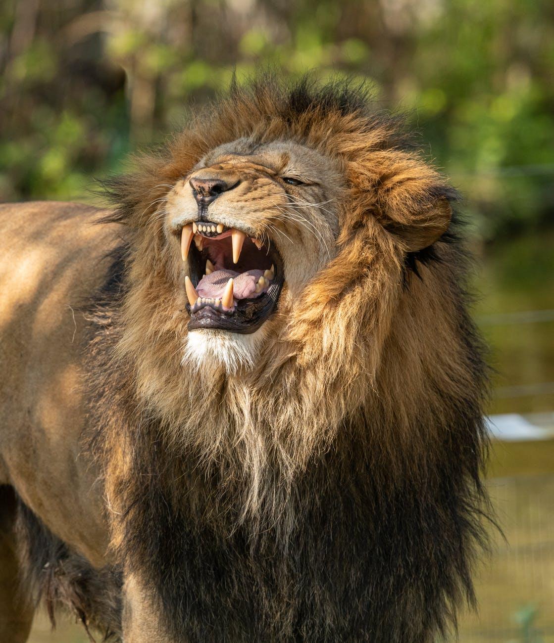 a roaring lion
