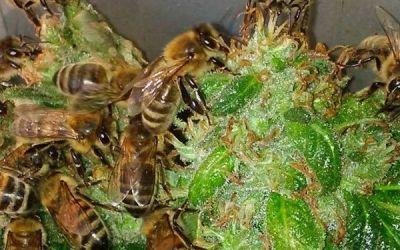 Ist Hanf die Rettung für die Bienen?