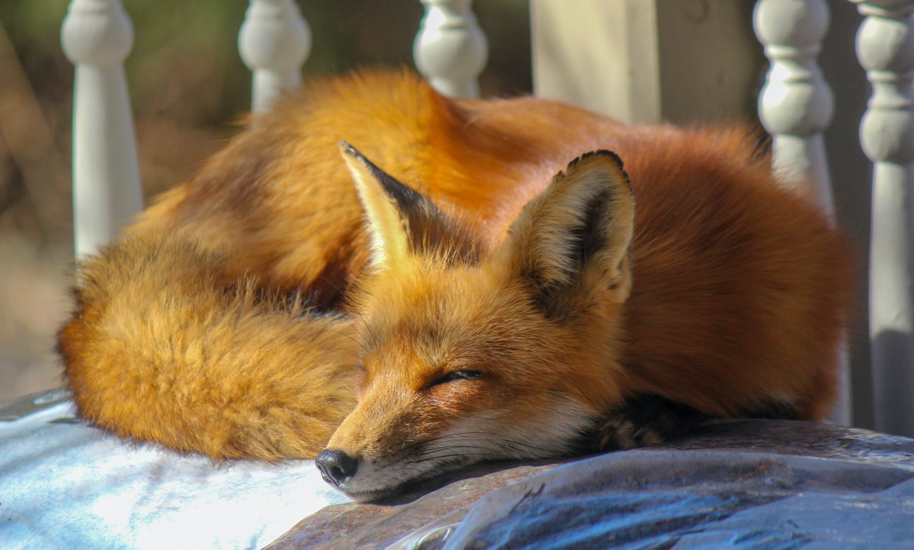 How to stop foxes from coming into your garden