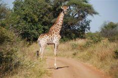 giraff_in_the_road