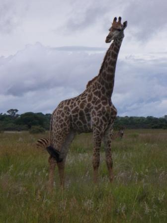 giraff_on_the_plain