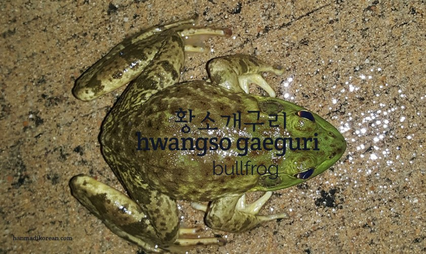 hwangso gaeguri - Korean for bullfrog