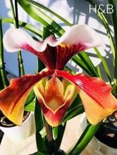 papucs orchidea