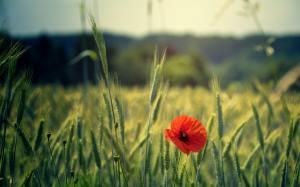 poppy in a field thriving