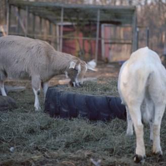 farm hands goats edited