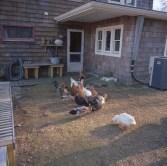 farm hannahs chicks edited