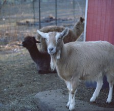 farm hans goat edited