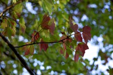 Maple leaves start to turn in Sun Prairie, Wisconsin.