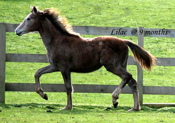 Rebecca Wilson took this picture of Lilac, on August 4. She also photographed Fire'n Ice and L'Orange for us. They are of course in their winter coats but are energetic and active despite the cooler weather.