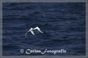 Weißschwanz-Tropikvogel