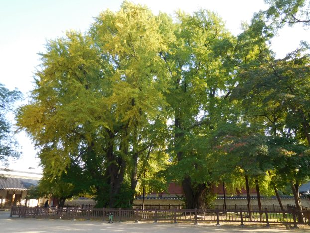 The 2 gingkos that have been growing ever since the school was built