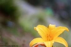 bulir embun di kelopak kuning