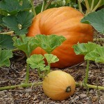 Pumpkins Veggie Happenings With Sonoma County Master Gardeners