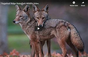 Coyotes at Sugarloaf Ridge Park
