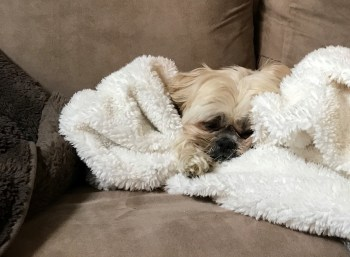 dog in blanket on couch