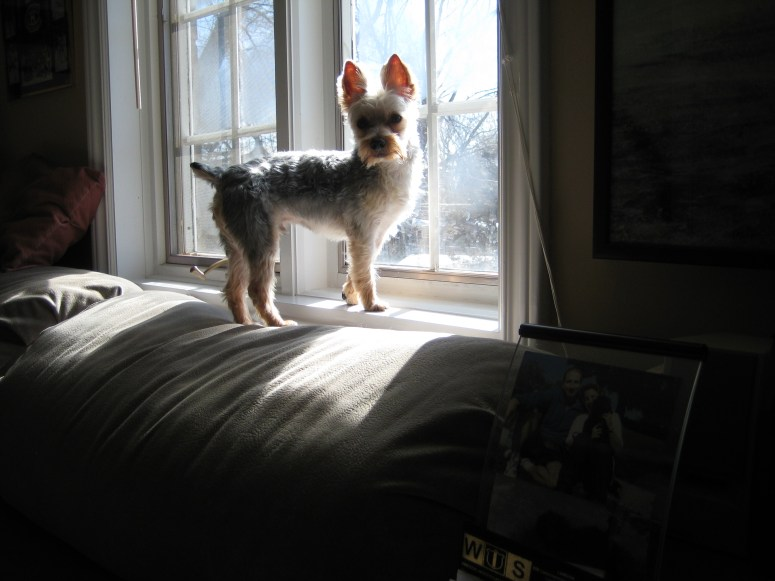 Yorkshire Terrier at window knows what Judy's dog's life enrichment is all about.