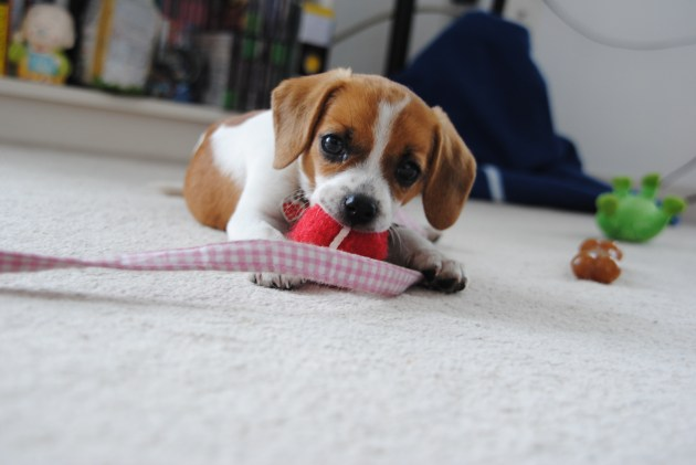 Puppies could be from puppy mills and backyard breeders