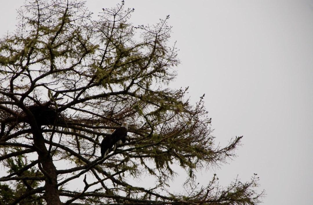 Bald eagles near Tofino BC