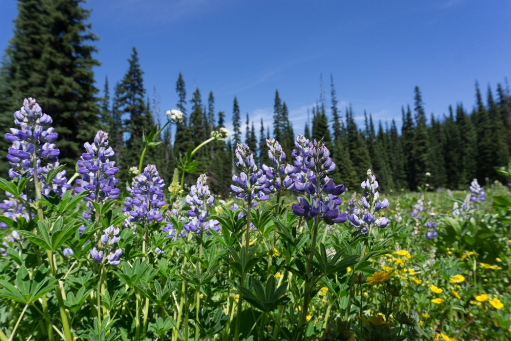 Alpine flowers in Manning Park, British Columbia, Canada