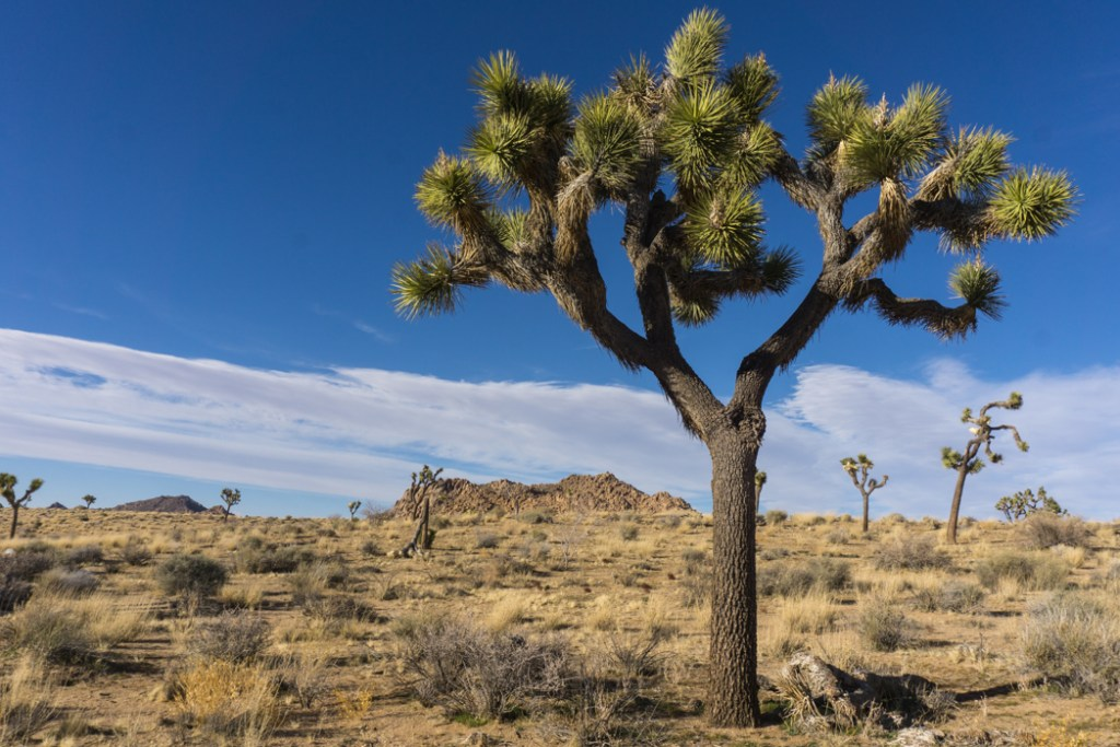 A joshua tree in Joshua Tree National Park one of 15 awesome things to do in Joshua Tree. Add checking out the joshua trees to your Joshua Tree bucketlist.