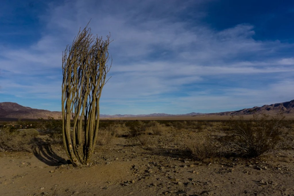 An ocotillo plant in Joshua Tree National Park, one of 15 awesome things to do in Joshua Tree. Add checking out the ocotillo patch to your Joshua Tree bucketlist.