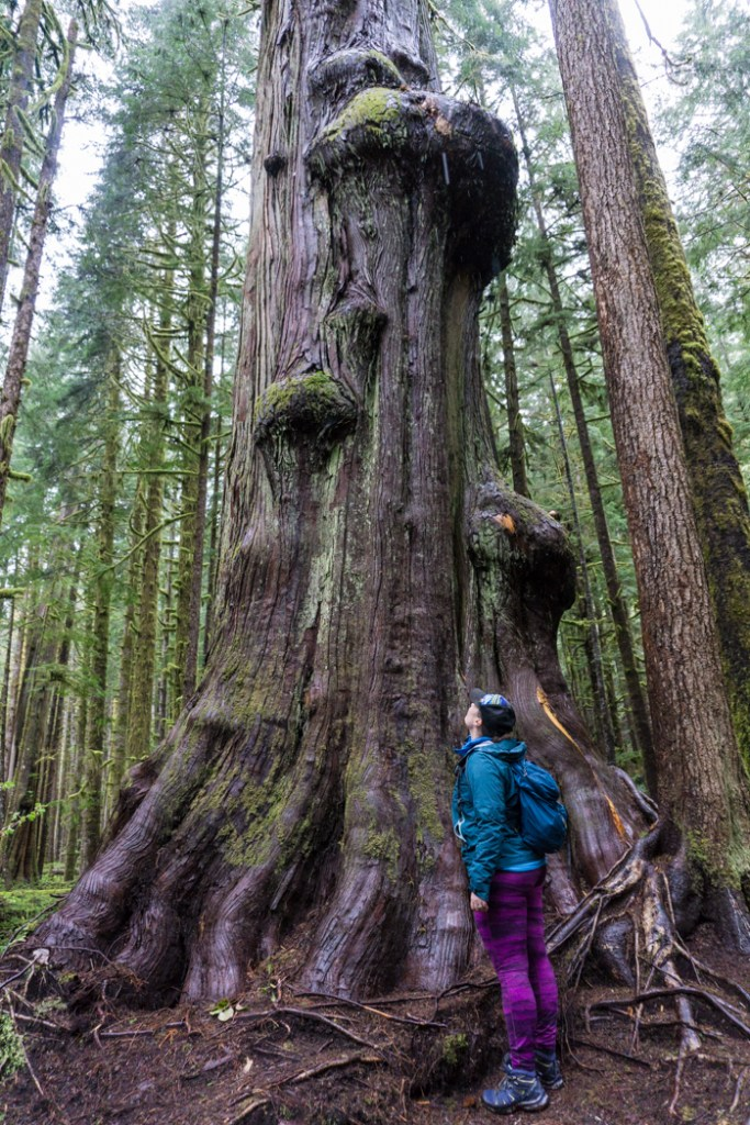 Admiring an old growth tree in Lower Avatar Grove. Visit Big Lonely Doug, Avatar Grove and the other big trees near Port Renfrew, British Columbia.
