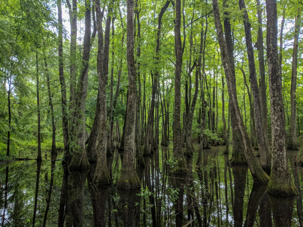 Cypress swamp along the Natchez Trace. Learn how to cycle tour the Natchez Trace Parkway in this detailed guide.