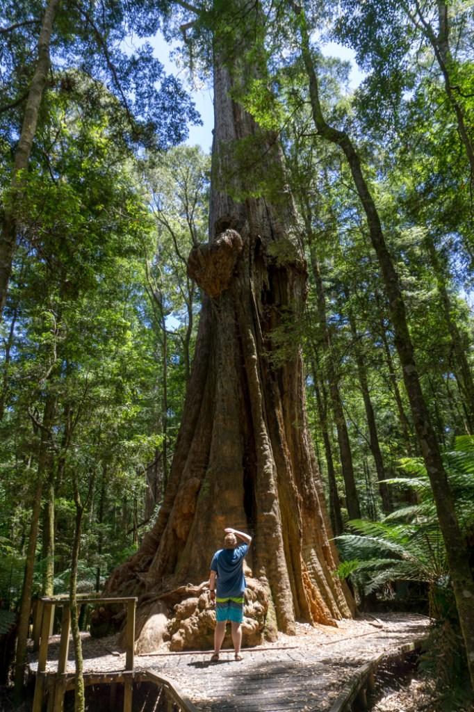 The big tree near Dip Falls in the Tarkine region of Tasmania