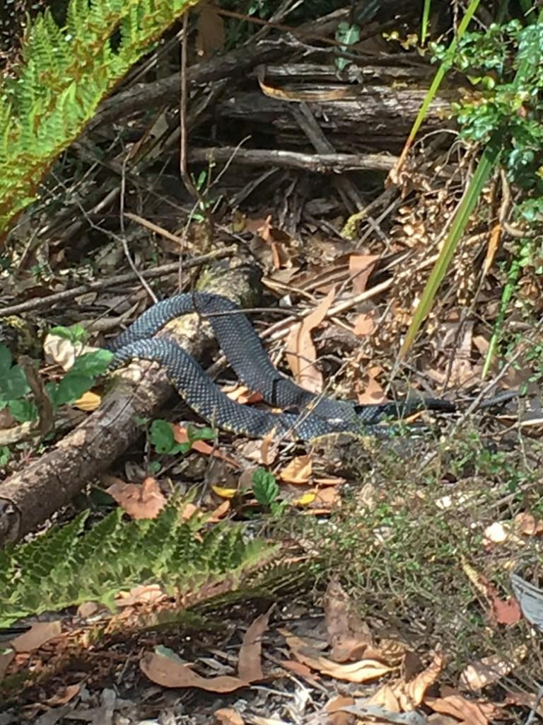 Snake in Tasmania, Australia