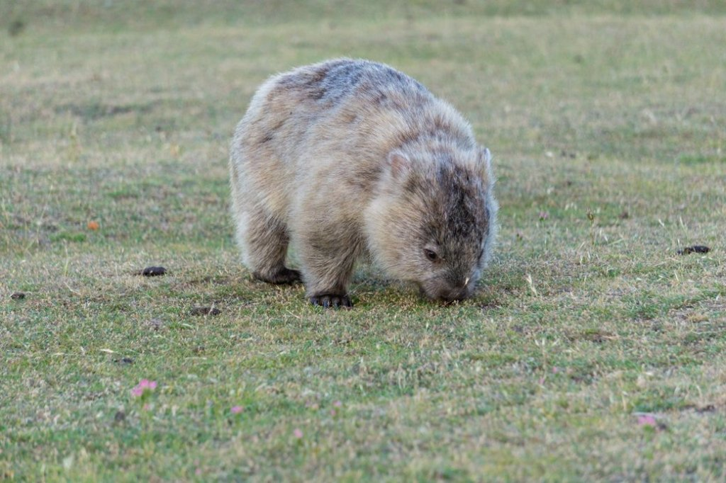 A wombat near the campsite on Maria Island, one of the best places to see wildlife in Tasmania
