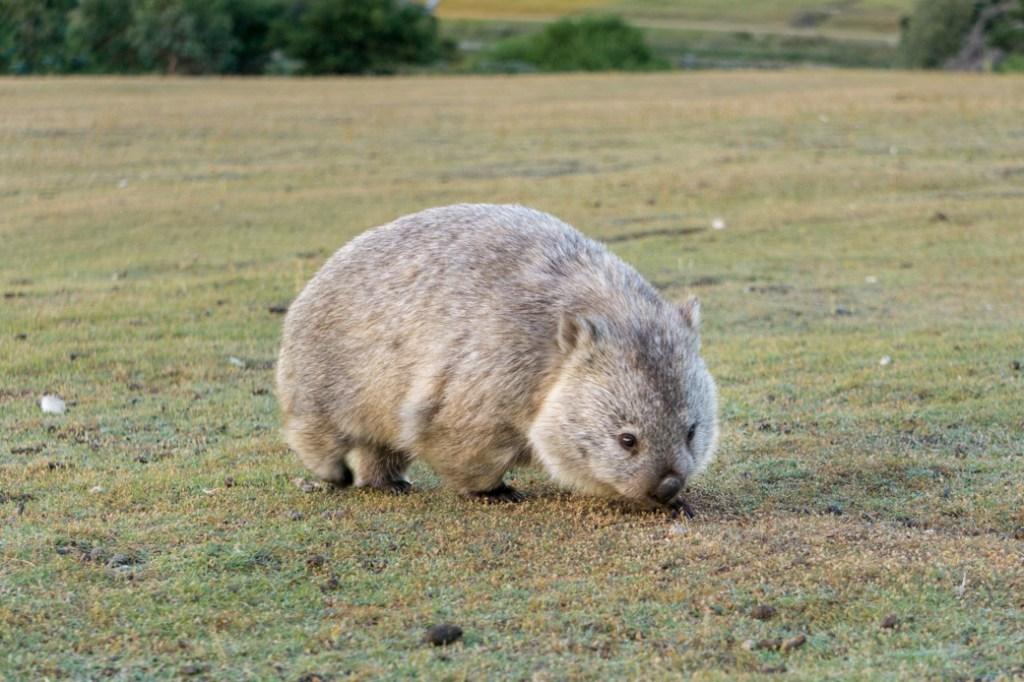 A wombat on Maria Island in Tasmania.