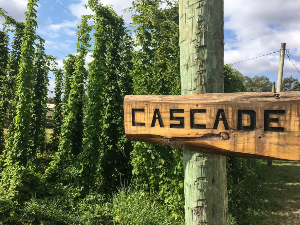 The hops garden at Seven Sheds Brewery in Railton, Tasmania. Just one of over 40 things to do in Devonport and Tasmania's North West.