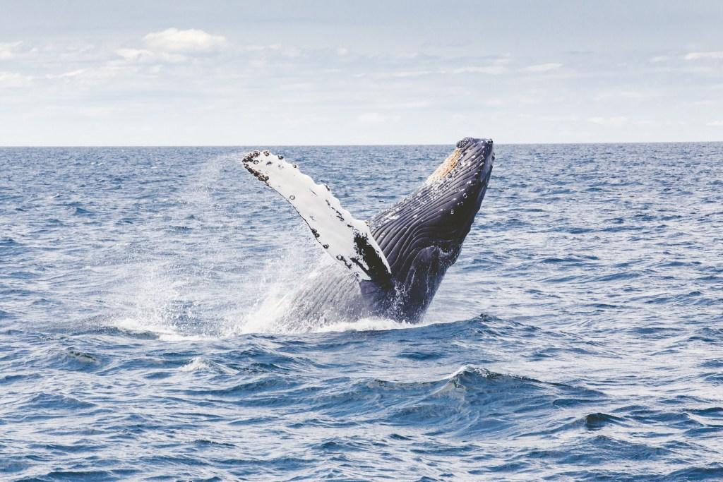 Humpback whale near Tasmania, Australia