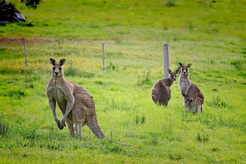 Eastern Grey Kangaroos in Tasmania, Australia