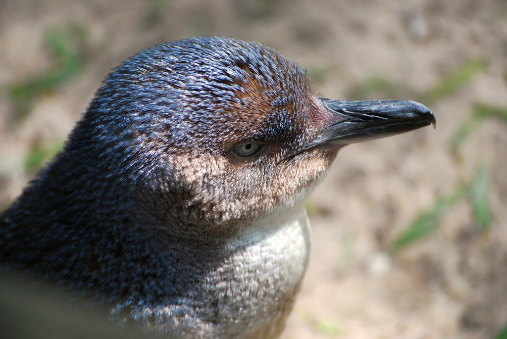Little penguin in Tasmania, Australia