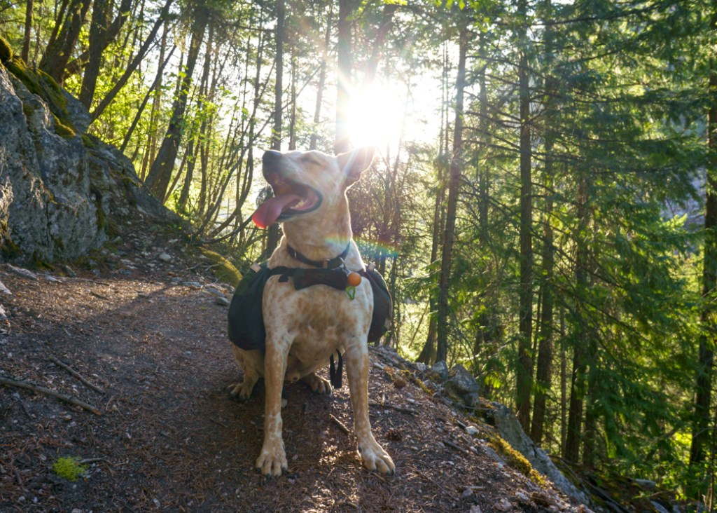 Frank the dog hiking in BC's Stein Valley on a hot day. Part of learning how to Leave No Trace with dogs is planning ahead and preparing for hot weather.
