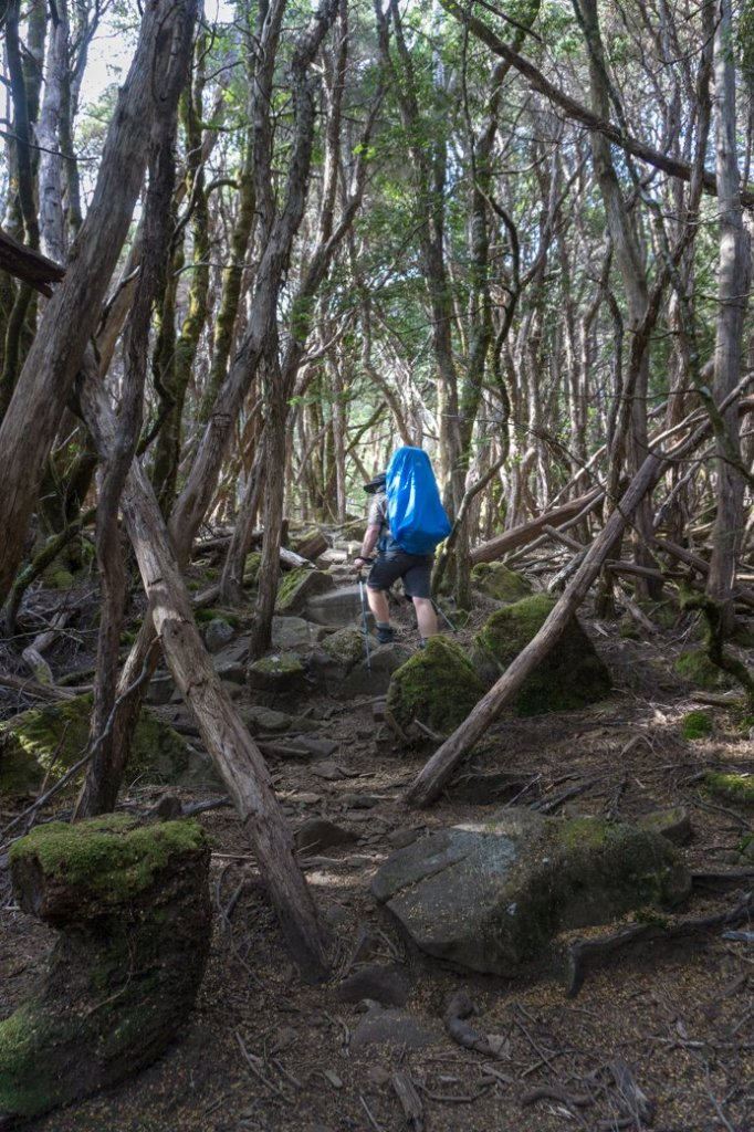 Pine Forest Moor on the Overland Track's third section from Windermere to Pelion