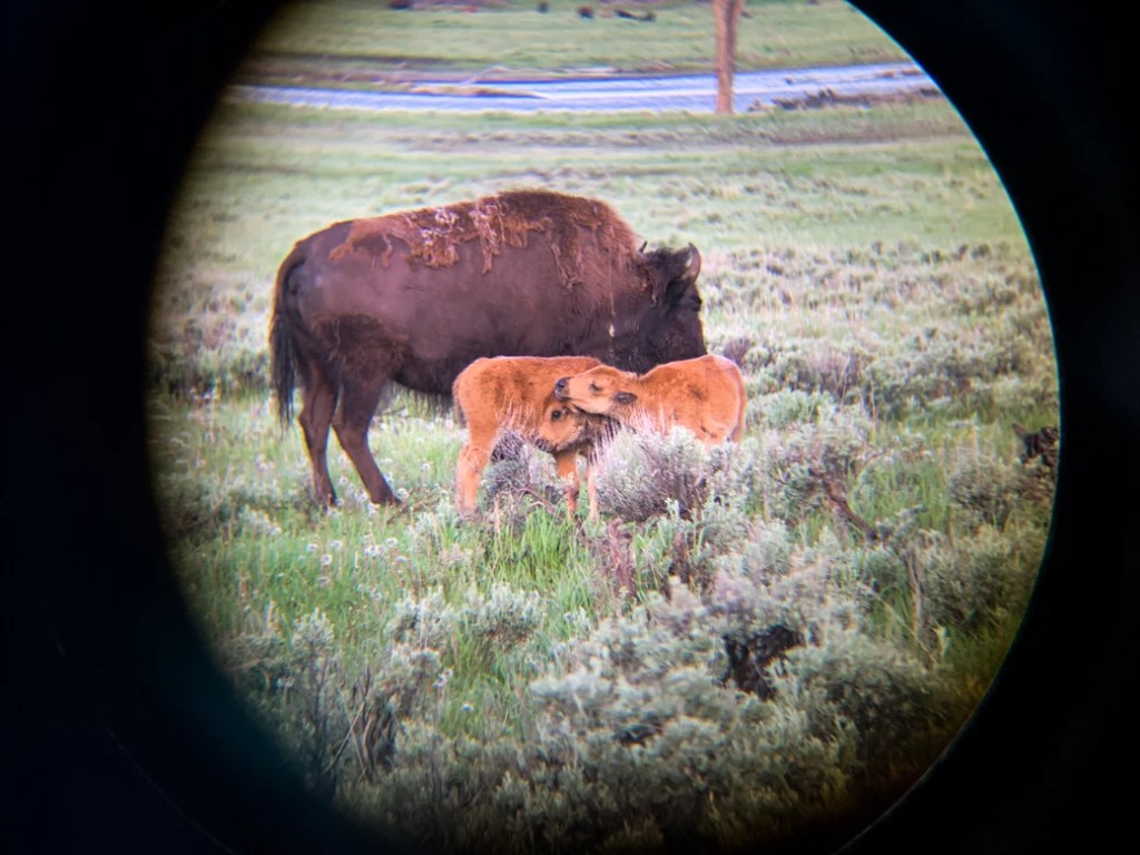 Two bison in Yellowstone National Park. Photo taken with a monocular and phone adapter. A spotting scope or binoculars is a must on your Yellowstone packing list.