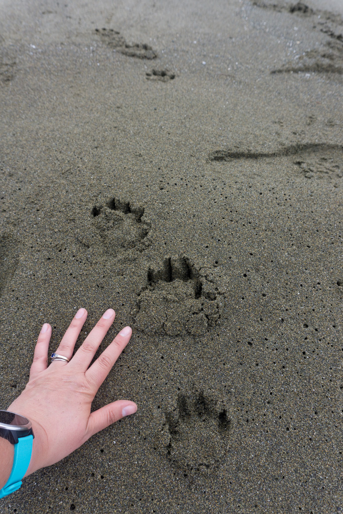 Wolf tracks on the beach on the West Coast Trail