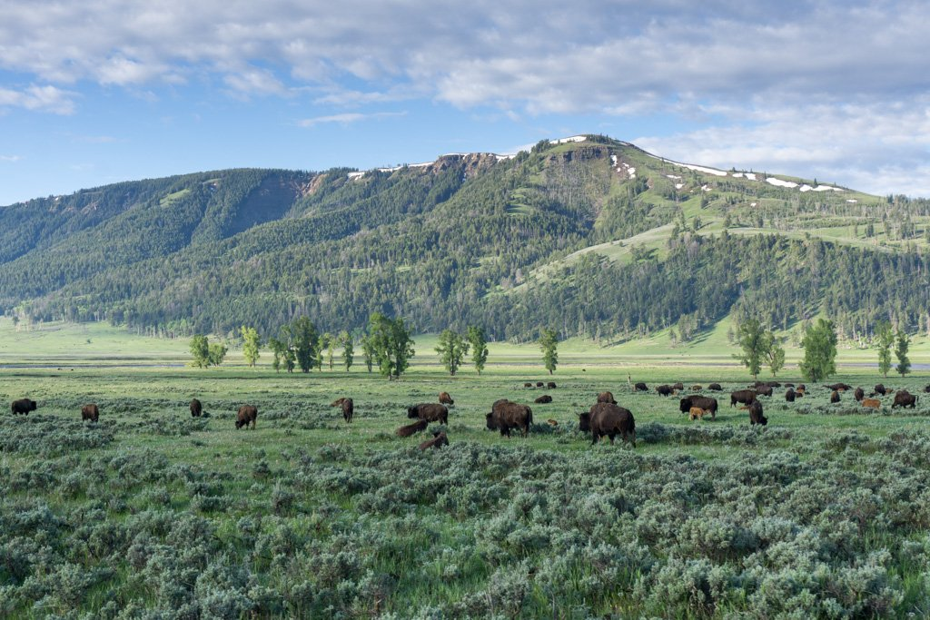 Bison in the Lamar Valley in Yellowstone National Park