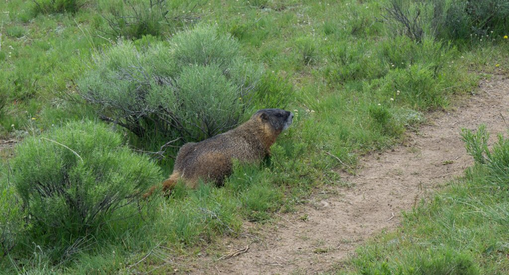 Yellow bellied marmot in Yellowstone National Park