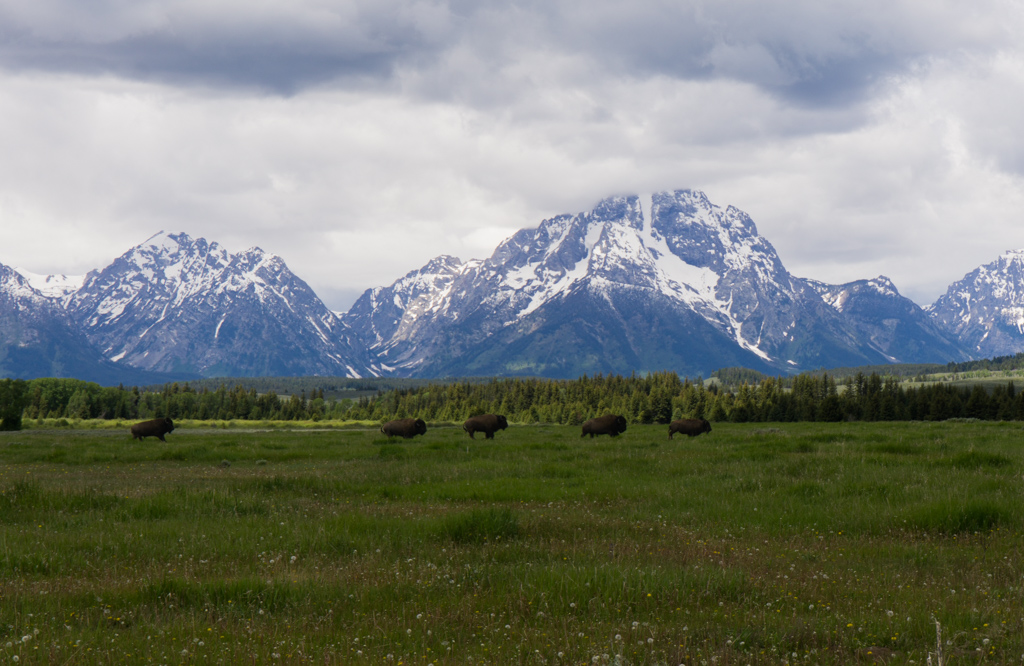 Bison running across the plains in Grand Teton National Park